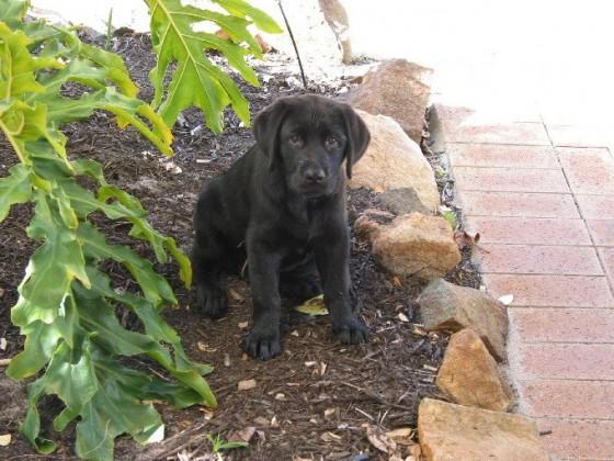 Louie-puppy-2