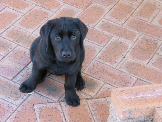 Louie-puppy-3